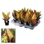 croton variegatum - La jardinerie de pessicart nice - Livraison a domicile nice 06 plantes vertes terres terreaux jardinage arbres cactus