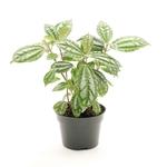 pilea cadierei - La jardinerie de pessicart nice - Livraison a domicile nice 06 plantes vertes terres terreaux jardinage arbres cactus