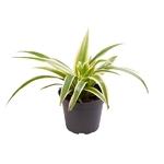 chlorophytum plante araignée - La jardinerie de pessicart nice 2 - Livraison a domicile nice 06 plantes vertes terres terreaux jardinage arbres cactus