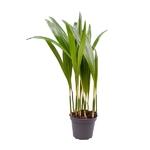 palmier areca dypsis lutescens 3 - La jardinerie de pessicart nice - Livraison a domicile nice 06 plantes vertes terres terreaux jardinage