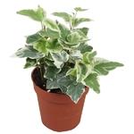 lierre hedera 10.5 - 3 - La jardinerie de pessicart nice - Livraison a domicile nice 06 plantes vertes terres terreaux jardinage arbres cactus