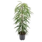 ficus alii ficus sabre ficus à longues feuilles 2 - La jardinerie de pessicart nice - Livraison a domicile nice 06 plantes vertes terres terreaux jardinage arbres cactus