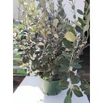 Feijoa ou goyavier du Brésil-La Jardinerie de Pessicart Nice
