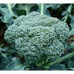 chou brocoli - plant potager Image par artverau de Pixabay  - La jardinerie de pessicart nice - Livraison a domicile nice 06 plantes vertes terres terreaux jardinage arbres cactus