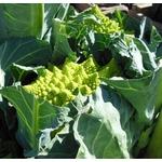 chou romanesco - plant potager Image par Susbany de Pixabay  - La jardinerie de pessicart nice - Livraison a domicile nice 06 plantes vertes terres terreaux jardinage arbres cactus