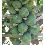 chou de Bruxelles- plant potager Image par TANITAMON de Pixabay  - La jardinerie de pessicart nice - Livraison a domicile nice 06 plantes vertes terres terreaux jardinage arbres cactus