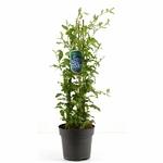 Plumbago tuteur 2 - La jardinerie de pessicart nice - Livraison a domicile nice 06 plantes vertes terres terreaux jardinage arbres cactus