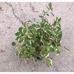 plectranthus - La jardinerie de pessicart nice - Livraison a domicile nice 06 plantes vertes terres terreaux jardinage arbres cactus