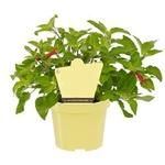 sauge ananas aromatique Salvia Elegnas  -  La jardinerie de pessicart nice - Livraison a domicile nice 06 plantes vertes terres terreaux jardinage arbres cactus