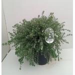 Romarin australien westringia c10l - La jardinerie de pessicart nice - Livraison a domicile nice 06 plantes vertes terres terreaux jardinage arbres cactus