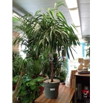 ficus esabre alii tige pot à reserve deau - La jardinerie de pessicart nice - Livraison a domicile nice 06 plantes vertes terres terreaux jardinage arbres cactus