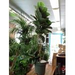 ficus elastica tige pot à reserve deau - La jardinerie de pessicart nice - Livraison a domicile nice 06 plantes vertes terres terreaux jardinage arbres cactus