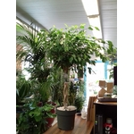 figuier pleureur ficus benjamina tige pot à reserve deau - La jardinerie de pessicart nice - Livraison a domicile nice 06 plantes vertes terres terreaux jardinage arbres cactus