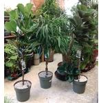 ficus tige pot à reserve d'eau - La jardinerie de pessicart nice - Livraison a domicile nice 06 plantes vertes terres terreaux jardinage arbres cactus