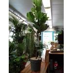 ficus lyrata tige pot à reserve deau - La jardinerie de pessicart nice - Livraison a domicile nice 06 plantes vertes terres terreaux jardinage arbres cactus