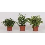 ficus benjamina - la jardinerie de pessicart - Nice - garden center plantes terreaux cactus livraison gratuite free delivery