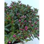 sedum crassula fleurs roses rocailles  - La jardinerie de pessicart nice - Livraison a domicile nice 06 plantes vertes terres terreaux jardinage arbres cactus (1)