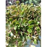 sedum makinoi plante grasse rocailles - La jardinerie de pessicart nice - Livraison a domicile nice 06 plantes vertes terres terreaux jardinage arbres cactus (3)