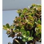 sedum makinoi plante grasse rocailles - La jardinerie de pessicart nice - Livraison a domicile nice 06 plantes vertes terres terreaux jardinage arbres cactus (1)