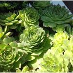 sedum sempervivum - La jardinerie de pessicart nice - Livraison a domicile nice 06 plantes vertes terres terreaux jardinage arbres cactus (3)