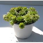 sedum sempervivum - La jardinerie de pessicart nice - Livraison a domicile nice 06 plantes vertes terres terreaux jardinage arbres cactus (2)