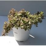 sedum triocolor - La jardinerie de pessicart nice - Livraison a domicile nice 06 plantes vertes terres terreaux jardinage arbres cactus (2)