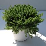 sedum sexangulare - La jardinerie de pessicart nice - Livraison a domicile nice 06 plantes vertes terres terreaux jardinage arbres cactus (2)