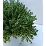 sedum sexangulare - La jardinerie de pessicart nice - Livraison a domicile nice 06 plantes vertes terres terreaux jardinage arbres cactus (1)