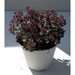 sedum sieboldi - La jardinerie de pessicart nice - Livraison a domicile nice 06 plantes vertes terres terreaux jardinage arbres cactus (2)