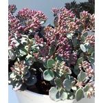 sedum sieboldi - La jardinerie de pessicart nice - Livraison a domicile nice 06 plantes vertes terres terreaux jardinage arbres cactus (1)