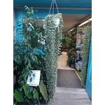 Glechoma - Lierre terrestre - la Jardinerie de Pessicart Nice 06100 -1