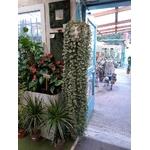 Glechoma - Lierre terrestre - la Jardinerie de Pessicart Nice 06100 -2