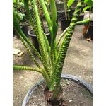 alocasia zebrina - Photo credit Starr Environmental on Visualhunt.com - La jardinerie de pessicart nice - Livraison a domicile nice 06 plantes vertes terres terreaux jardinage arbres cactus