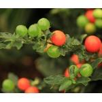 solanum pseudocapsicum pommier d'amour - Image par Marjon Besteman de Pixabay  - La jardinerie de pessicart nice - Livraison a domicile nice 06 plantes vertes terres terreaux jardinage arbres cactus
