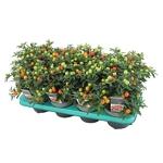 solanum pseudocapsicum pommier damour - La jardinerie de pessicart nice - Livraison a domicile nice 06 plantes vertes terres terreaux jardinage arbres cactus