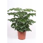 radermachera sinica - La jardinerie de pessicart nice - Livraison a domicile nice 06 plantes vertes terres terreaux jardinage arbres cactus