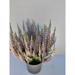 Bruyère bicolore pot de 1.5 l la jardinerie de pessicart nice 06100