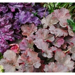 heuchera Photo credit deedavee on Visualhunt- La jardinerie de pessicart nice - Livraison a domicile nice 06 plantes vertes terres terreaux jardinage arbres cactus