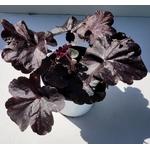 heuchera 2 - La jardinerie de pessicart nice - Livraison a domicile nice 06 plantes vertes terres terreaux jardinage arbres cactus