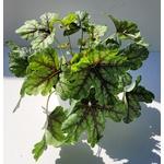 heuchera - La jardinerie de pessicart nice - Livraison a domicile nice 06 plantes vertes terres terreaux jardinage arbres cactus