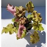 heuchera 3 - La jardinerie de pessicart nice - Livraison a domicile nice 06 plantes vertes terres terreaux jardinage arbres cactus