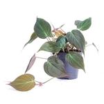 philodendron scandens micans -  La jardinerie de pessicart nice - Livraison a domicile nice 06 plantes vertes terres terreaux jardinage arbres cactus