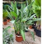 strelitzia reginaee oiseau du paradis - La jardinerie de pessicart nice - Livraison a domicile nice 06 plantes vertes terres terreaux jardinage arbres cactus