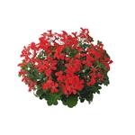 geranium roi des balcons