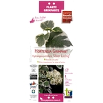 Hortensia Grimpant Hydrangea petiolaris Silver Lining