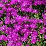 ficoides violettes 2