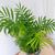 palmier nain2