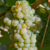 vigne-vinifera-chasselas-dore
