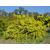 acacia-vestita-sainte-helene-