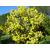 acacia-podalyriifolia-syn-moutteana